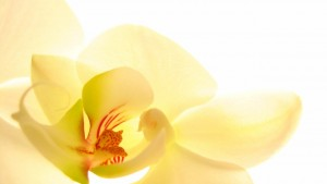 Yellow-Orchid-yellow-rare-orchids-very-elegance-beautiful-1280x720